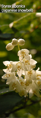 Styrax japonica (Japanese snowbell)